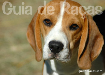 Raça Beagle