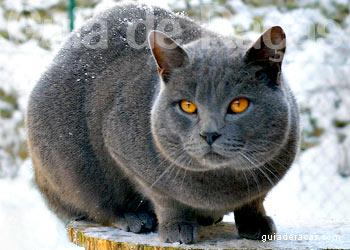 Loja de Gatos Chartreux