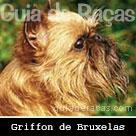 Griffon de Bruxelas