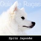Spitz Japonês