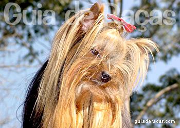 Yorkshire Terrier Guia De Racas